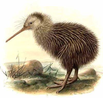 Kiwi Vogel image information